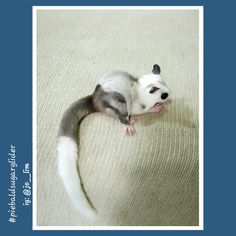 More pics of my Piebald Sugar Glider collections find me at Instagram : @jo__lim