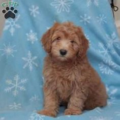 Whoodle - Miniature Puppy in Gordonville, PA