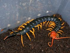 Giant Redheaded Centipede (scolopendra heros)