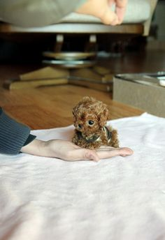 teacup poodle... omg.. I want!!