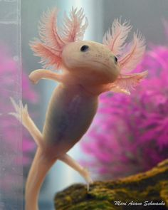 Axolotl c: (anyone get the animal crossing reference?) These are Mexican Salamanders, or Mexican Walking Fish. Though they aren't fish. they're amphibians. Ocean Creatures, Cute Creatures, Beautiful Creatures, Animals Beautiful, Axolotl Cute, Axolotl Tank, Funny Animals, Cute Animals, Pet Fish