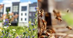 "Residents, businesses, and environmental groups in Norway have created a ""bee highway"" allowing bees safe passage through a heavily populated urban area. http://healthypets.mercola.com/sites/healthypets/archive/2015/11/10/bee-highway-protects-wild-bee-species.aspx"