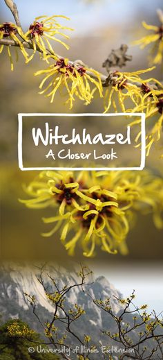 Blog post: Witchhazel (Hamamelis virginiana) #flower #plant #garden