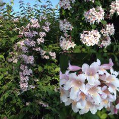 Vores dronningebusk (Kolkwitzia amabilis) er rigtig kommet i fud blomst 3.juni. Det er sikkert fordi vi snart får besøg af en rigtig prinsesse, som H.C. Andersen ville udtrykke det.