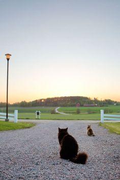 katter-vårkväll