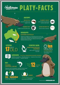 A guide to finding Platypus! Just saying the name Duck-billed Platypus tells you that this is one strange creature! It was such an oddity that when descriptions Reptiles, Mammals, Facts For Kids, Fun Facts, Duck Billed Platypus, Animals And Pets, Cute Animals, Animals Information, Australia Animals