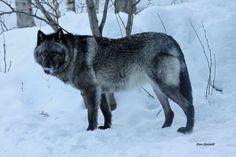 Explore internationalwolfcenter's photos on Flickr. internationalwolfcenter has uploaded 400 photos to Flickr.