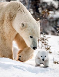 a polar bear! Wildlife photographer David Jenkins captures the tender moments between a mother polar bear and her three cubs in Wapusk National Park, Canada as they leave their den for the first time. Bear Photos, Bear Pictures, Cute Animal Pictures, Funny Pictures, Save The Polar Bears, Baby Polar Bears, Baby Pandas, Cute Baby Animals, Animals And Pets