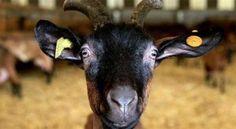 Las cabras no olvidan la voz de sus crías incluso un año después de haber sido destetadas y separadas, según científicos de la Universidad Queen Mary de Londres, los mismos que hace unos meses anunciaron que las cabras, como los seres humanos, también tiene acentos. La investigación aparece publicada en la revista Proceedings of the Royal Society B. + info: http://www.ecoapuntes.com.ar/2012/07/la-prodigiosa-memoria-de-las-cabras/