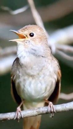 A morning song for you'🐦💞🌻 - Cutest Baby Animals Funny Birds, Cute Birds, Pretty Birds, Cute Funny Animals, Cute Baby Animals, Weird Birds, Exotic Birds, Colorful Birds, Small Birds