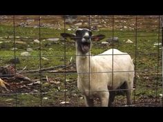 The Screaming Sheep ;-)