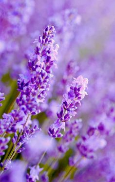 Do you want to have your own lavender patch? Learn how to easily grow them in your garden now: https://gardenerspath.com/plants/herbs/grow-lavender/