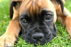 Face American Boxer Puppies