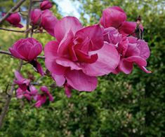 "This spring, Anthony Tesselaar Plants is introducing two magnificent new magnolias — one a luscious dark purple, the other a hot pink — to U.S. nurseries. Both were bred my master breeder Mark Jury of New Zealand. Jury magnolias are known for their rapid growth and masses of large flowers... <a href=""http://gardening.lohudblogs.com/2009/05/08/2-new-magnolias-from-anthony-tesselaar/"">Read More →</a>"
