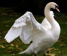 swan spreading wings 4 by LubelleCreativeSpark on DeviantArt