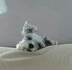 Everything About Energetic Miniature Schnauzer Dogs And Kids Schnauzer Breed, Miniature Schnauzer Puppies, Mini Schnauzer, Schnauzers, Silly Dogs, Big Dogs, Most Popular Dog Breeds, Man And Dog, Dogs And Kids