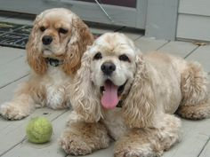 Mtani and Msindikiza - Cocker Spaniels tHE LIGHTER ONE LOOKS EXACTLY LIKE MY BUFFY USED TO!!!