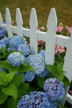 Pretty Picket Fence and Hydrangea | Flickr - Photo Sharing!