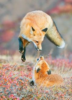 Red Foxes by Mazouz Shana