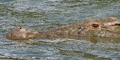 Supersize Crocs - Crocodile Secrets of Survival | Nature | PBS