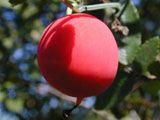 Ibervillea lindheimeri (Balsam gourd) | NPIN