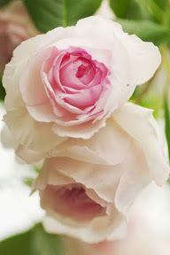 Jardin et Fleurs: jasmin de madagascar fruit