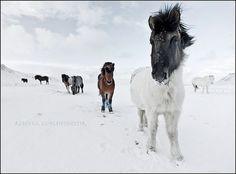 Amazing Pictures of Icelandic Horses by Rebekka Guðleifsdóttir