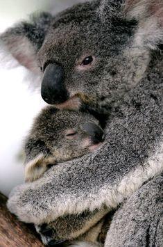 Print of A baby koala named Cooee is held by its mother at Sydneys Taronga Zoo Funny Koala, Cute Funny Animals, Cute Baby Animals, Koala Meme, Wild Animals, Blue Merle, Koala Marsupial, Baby Koala, Koala Bears