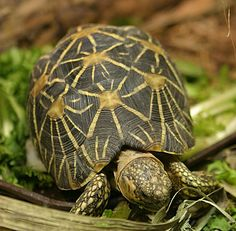 Indian Star Tortoise. Love to feed on grasses, fallen fruit, flowers and leaves of succulent plants.