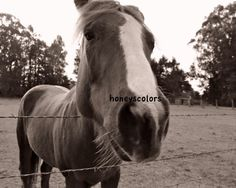 Black and White Photography - Horse - Portrait - Fine Art Print
