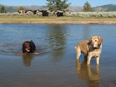 Swimming labs entertaining the cows.