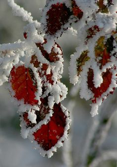 winter snow on autumn's red leaves.