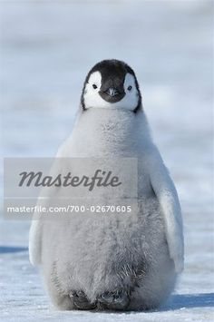 Emperor Penguin, Snow Hill Island, Antarctica  – Image © Raimund Linke / Masterfile.com: Creative Stock Photos, Vectors and Illustrations for Web, Mobile and Print