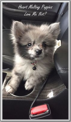 The traits we respect about the Cute Pomeranian All About Fun Pomeranian Puppy The traits we respect about the Cute Pomeranian All About Fun Pomeranian Puppy - Monde Des Animaux Blue Merle Pomeranian, Cute Pomeranian, Beautiful Dogs, Animals Beautiful, Cute Baby Animals, Animals And Pets, Cute Puppies, Cute Dogs, Corgi Puppies