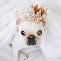 Weekend got me feeling like King of the kennel #dogsofinstagram #frenchie #dog