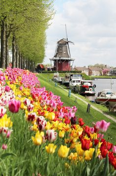 Tulips and a windmill in Dokkum, a beautiful city in the Netherlands. Picture by Mark Fokkema.