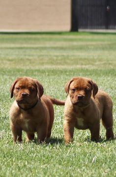 French Mastiff Dogue De Bordeaux Puppies Perros