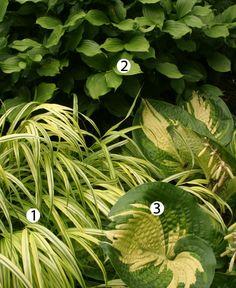 1. 'Aureola' Japanese forest grass (Hakonechloa macra 'Aureola', Zones 5-9) 2. Fairy bells (Disporum flavens, Zones 4-9) 3. 'Great Expectations' hosta (Hosta 'Great Expectations', Zones 3-9)
