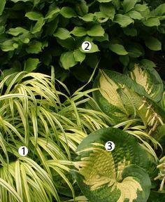 Combination for shade: 1. 'Aureola' Japanese forest grass (Hakonechloa macra 'Aureola', Zones 5-9)  2. Fairy bells (Disporum flavens, Zones 4-9)  3. 'Great Expectations' hosta (Hosta 'Great Expectations', Zones 3-9)