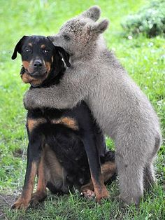bear ... dogs don't enjoly being hugged as much as humans and other primates ... canines interpret putting a limb over another animal as a sign of dominance