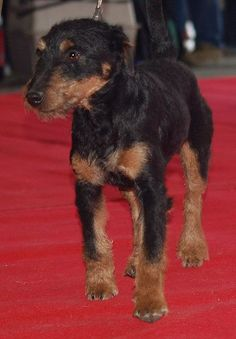 GERMAN HUNTING TERRIER/JAGDTERRIER