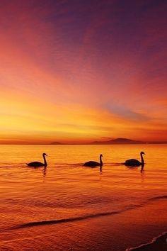 Swans by Senna Ayd on 500px