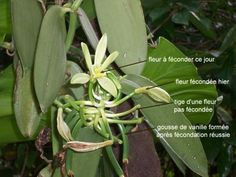Grow Vanilla Beans, Vanilla Plant, Plante Carnivore, Air Plants, Plant Leaves, Inspiration, Gardens, Growing Plants, Vanilla