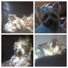 Helping Lost Pets | Dog - Yorkshire Terrier Yorkie - Back Home