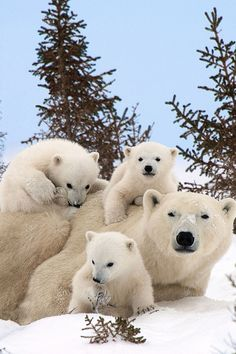 Polar bear family message-please car pool so my babies will not drown in melted…