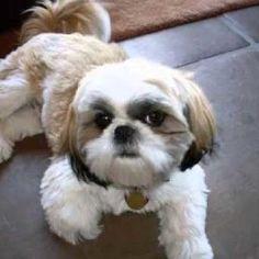 Shih-Tzu-Haircuts http://whatstrendingonline.com/shih-tzu-haircuts/