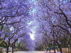 Jacaranda: my favorite tree. It blooms around the time I complete my studying for the CFA exam. To me, it represents new beginnings.