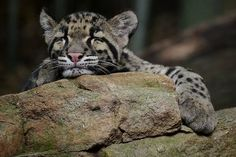 Sad day. Clouded leopards declared extinct in Taiwan : TreeHugger #green #sustainability #rmogreen