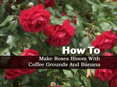 How to Make Roses Bloom With Coffee Grounds And Banana