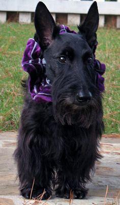 Sophie the Scottie Dog